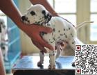 哪里有卖斑点狗斑点狗多少钱
