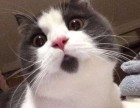 英短 美短 加菲 苏格兰折耳 布偶 蓝猫,包纯种健康