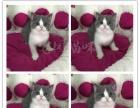 纯家养 英短 美短 折耳猫 金吉拉 加菲猫欢迎上挑