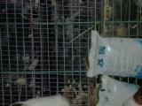 眼圈熊,奶牛熊,天竺鼠售卖
