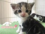 纯种短毛猫出售 疫苗做齐 终身质保签协议