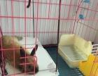 宠物兔侏儒兔转让