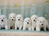 良心犬业丨卖健康宠物丨萨摩耶幼犬丨签协议活 优惠多多