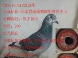 江元鸽店长期出售公棚鸽、特比鸽、成绩鸽 本人潮州人,店在潮州