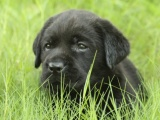 买纯种拉布拉多犬/签协议-保健康