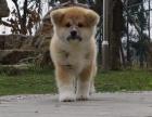 重庆纯种秋田价格,重庆哪里能买到纯种秋田犬