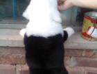 儋州哪里有卖古代牧羊犬的 古代牧羊犬幼犬卖多少钱一只 本地哪