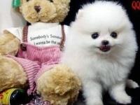 成都出售可爱乖巧活泼美丽毛线球般的宠物狗迷人博美幼犬