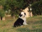 重庆哪里有边牧出售 重庆纯种边境牧羊犬价格是多少 咖啡色边牧