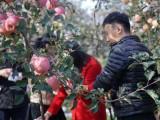 好吃的苹果 李立君苹果 生态种植,零农残