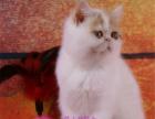 粘人加菲猫火爆出售 两针疫苗一次驱虫 保健康包售后
