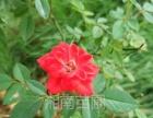 湖南大型花卉基地批发月季花、紫薇、杜鹃花各种景观花