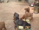 纯种杜宾犬德系杜宾犬高品质杜宾犬包品质