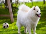 萨摩耶犬母犬一只