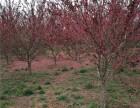 济南25公分金叶槐基地提供多种苗木