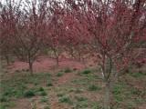 日照30公分合欢树种植棵