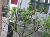 长寿果7年盆景
