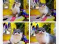 猫舍繁殖高品质波斯猫 品质好品相到位 疫苗驱虫齐全