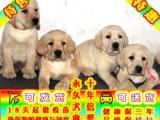 纯种拉布拉多幼犬 专业繁殖 包纯种签合同保健康