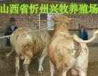 内蒙古养殖场小肉牛西门塔尔牛犊批发价出售小黄牛免费