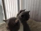 自家养的蓝猫咪,出售,四只母的。