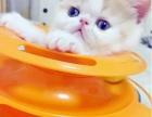 纯种加菲猫,超级可爱,签协议全国发货