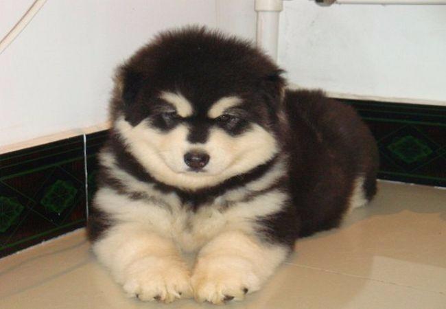 纯种阿拉斯加雪橇犬桃脸阿拉十字脸阿拉斯加包健康