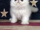 长毛波斯幼猫宝宝 多只出售 多窝可选公母都有