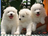 上海纯种微笑天使萨摩耶幼犬,雪白无水锈,骨骼粗毛量足