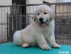 极品 金毛犬出售 保证 纯种和健康 CKU国际认证犬舍