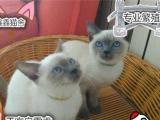 纯种暹罗猫猫舍繁殖健康纯种品质保障