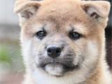 上海 純種柴犬幼犬 疫苗齊全出售中 可簽協議健康保障