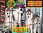 哪里有卖纯种哈士奇雪橇犬 疫苗驱虫按时做好可签协议