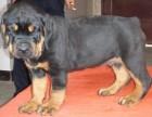中山哪里有卖罗威纳狗 出售德系纯种罗威纳幼犬