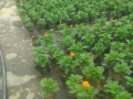 莆田草花种植