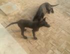 精品黑狼犬2~4个月纯血幼犬出售