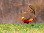 鸟语林出售红腹锦鸡杂交锦鸡养殖场繁殖场观赏鸟引种养殖技术
