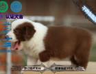 赛级边牧幼犬 训练过:坐 立 卧 上厕所都会