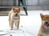 柴犬怎么卖的 拉萨纯种柴犬价格 拉萨黑色柴犬多少钱 美系柴犬