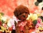 恋上你的萌,叫我如何舍得不爱他 纯种泰迪幼犬