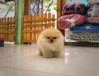 哈多利球体小博美俊介犬性格活泼 售后保质 购买优惠