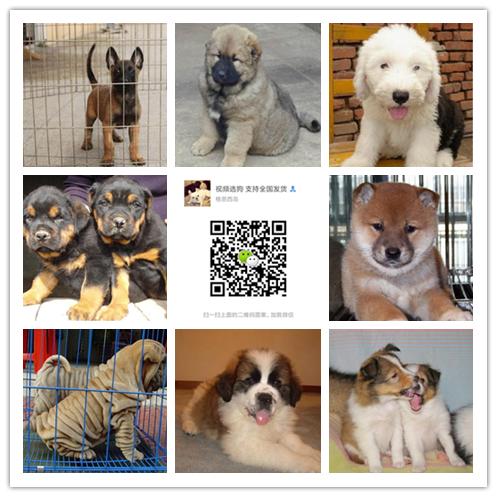 大型基地直销一各种世界名犬一视频选狗全国发货