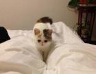自家猫6月20日生的小加菲猫