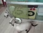家养暹罗猫便宜出售