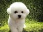 自家大狗生了一窝比熊犬可以上门看狗父母