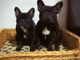 高品质法牛犬 法牛犬专业繁殖 健康血统质保