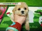 玩具微小体泰迪幼犬,疫苗做好,包健康,包纯种,包活