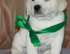 上海哪里有免费领养宠物狗自己家养母狗下的一窝纯种小拉布拉多犬