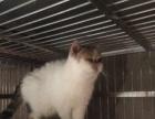家养加菲猫三花种母低价转让
