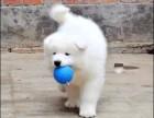 宁波那里有萨摩耶犬卖 宁波萨摩耶犬价格 宁波萨摩耶犬多少钱